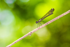 Common Blue Jewel - Portrait of damselfly. Portrait of damselfly - Common Blue Jewel Stock Photo