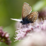 Common Blue - Lycaenidae Royalty Free Stock Image