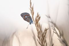 Common Blue male Polyommatus icarus Stock Photography