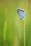 Common Blue male (Polyommatus icarus) Stock Photography
