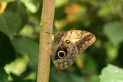 Common Blue Morpho Butterfly Stock Photography