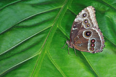 Common Blue Morpho Butterfly Royalty Free Stock Photos