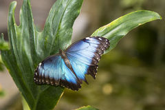 Common Blue Morpho Butterfly Royalty Free Stock Photo