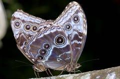 Free Common Blue Morpho, Morpho Peleides Stock Photos - 12050273