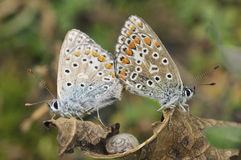 Common Blue - Polyommatus icarus stock images