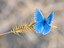 Common blue - polyommatus icarus. Common Blue Butterfly - Polyommatus icarus Female underside on steppe spikelet Stock Images