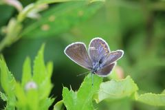 Common blue Polyommatus icarus butterfly female sitting on a meadow plant leaf. Royalty Free Stock Image