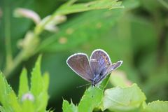 Common blue Polyommatus icarus butterfly female sitting on a meadow plant leaf. Stock Photos
