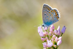 Common Blue or Polyommatus Icarus Butterfly Royalty Free Stock Photos
