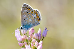 Common Blue or Polyommatus Icarus Butterfly Royalty Free Stock Photo