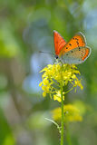 Common Blue (Polyommatus icarus) butterfly Royalty Free Stock Photography