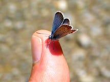 Common blue, Polyommatus icarus stock photos
