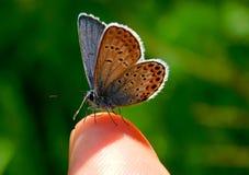 Common blue, Polyommatus icarus stock photography