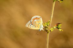 Common Blue (Polyommatus icarus) Stock Photos