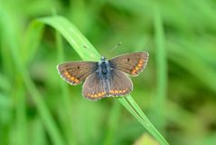 Common Blue (Polyommatus icarus) Royalty Free Stock Image