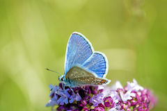Common blue, Polyommatus icarus,  on a flower Royalty Free Stock Images