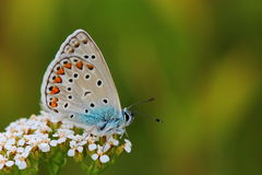 Common Blue (Polyommatus icarus) on flowers Stock Image