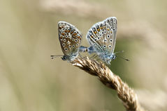 Common blue, Polyommatus icarus Stock Photo