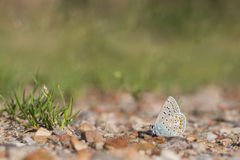 Common blue, Polyommatus icarus Stock Images
