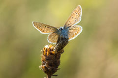 Common blue (Polyommatus icarus) resting Stock Image