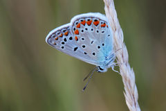 Common Blue (Polyommatus icarus) sitting on dry grass Royalty Free Stock Image