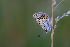Common Blue (Polyommatus icarus) sitting on dry grass Royalty Free Stock Images
