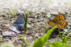 The Common Blue (Polyommatus icarus) Royalty Free Stock Image