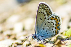 The Common Blue (Polyommatus icarus) Royalty Free Stock Photos