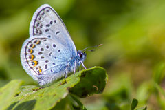 The Common Blue (Polyommatus icarus) Stock Photo