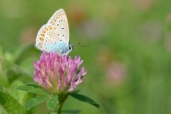 Common blue Polyommatus icarus Stock Image