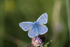 Common blue, Polyommatus icarus. With wings open Stock Photo