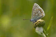 Common Blue resting on a oxeye daisy Stock Photo