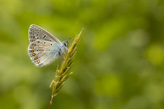 Common Blue resting Royalty Free Stock Photography