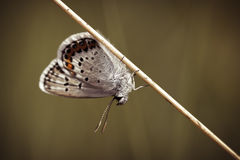 Common Blue - resting Royalty Free Stock Photo