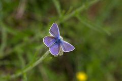 Common blue sitting on a flowe Royalty Free Stock Photography