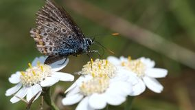 Common Blue on a Swamp Yarrow - flowers stock video footage