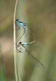 Common blue-tail damselfly pair mating Stock Photo