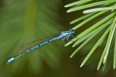 Common blue-tailed damselfly. Closeup of blue-tailed damselfly (Ischnura elegans) resting on fir tree needles Stock Photo