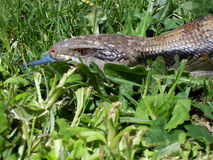 Free Common Blue Tongue Lizard - Portrait Royalty Free Stock Photos - 9758498