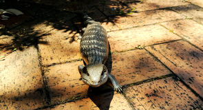 A Common blue-tongued skink (Tiliqua scincoides) with a full tummy Royalty Free Stock Photos