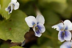 Common blue violet Viola sororia Royalty Free Stock Photos