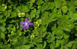 Common Blue Violet, Viola Sororia stock photography