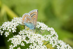 Common Blue on white flowers. Common Blue Polyommatus icarus on white flowers stock photos