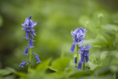 Common Bluebell Royalty Free Stock Photo