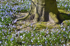 Common Bluebells. Royalty Free Stock Photos