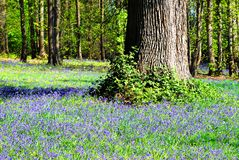 Common bluebells in the forest Royalty Free Stock Photography
