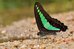 Common bluebottle. Butterfly of thailand background Stock Images