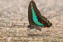 Common Bluebottle. (Graphium sarpedon) Butterfly royalty free stock photo