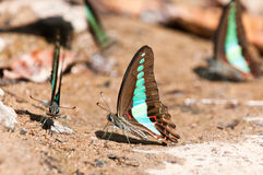 Common bluebottle butterfly Stock Images