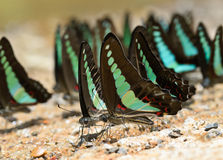 Common bluebottle butterfly Stock Photos
